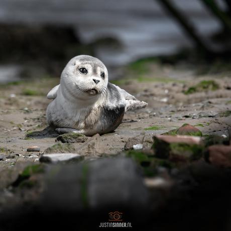 Jonge zeehond.