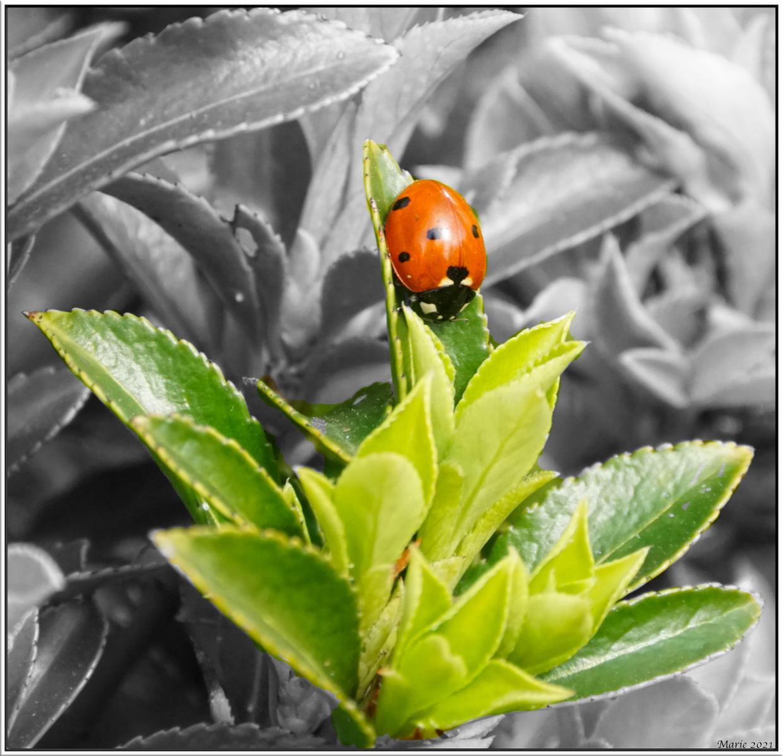 lieveheersbeestje - Beetje zitten oefenen met Affinity Photo. - foto door Marie_zoom op 10-04-2021 - deze foto bevat: fabriek, fotograaf, insect, natuur, groen, blad, terrestrische plant, organisme, geleedpotigen, kever