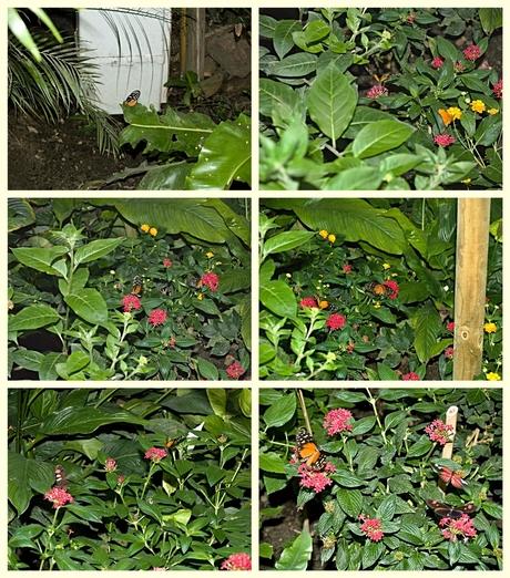 Bloeiende planten met hier en daar de passiebloemvlinder Heliconius hecale.
