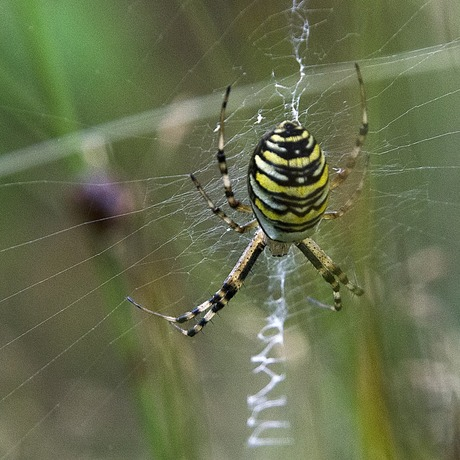 Wespspin in web