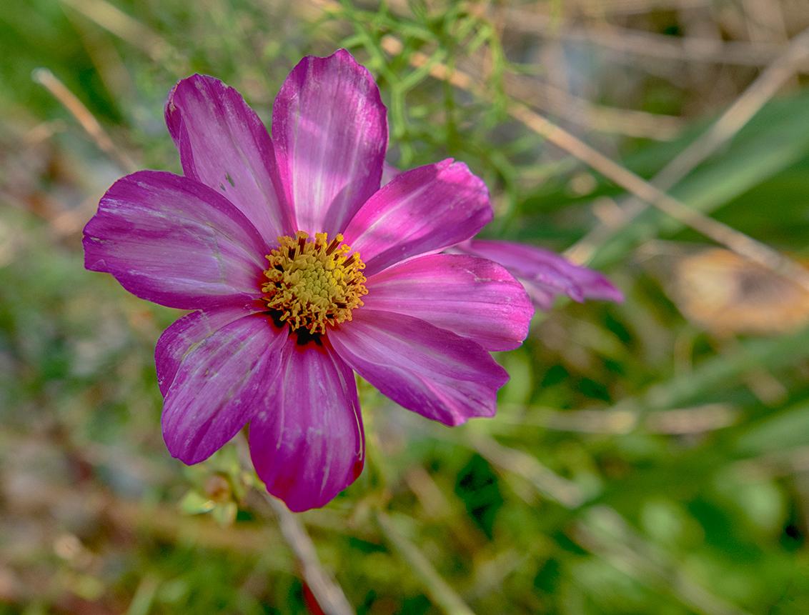 Nog een bloem... - Nog een keer het macrofilter uitgeprobeerd op het Zuidplaatje in Dordrecht, aan de rand van de Biesbosch. - foto door PeterKosterHT op 01-11-2020 - deze foto bevat: roze, paars, macro, bloem, natuur, geel, licht, rose, dordrecht, biesbosch, lila, zuidplaatje