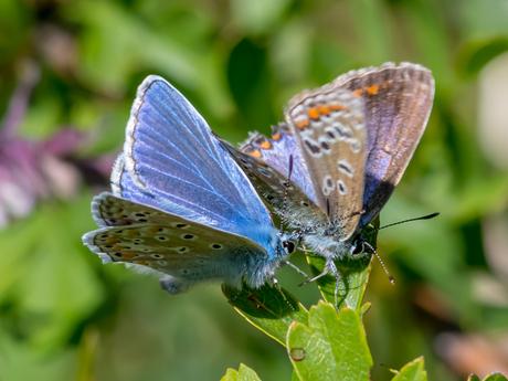 Icarusblauwtjes (M&V)