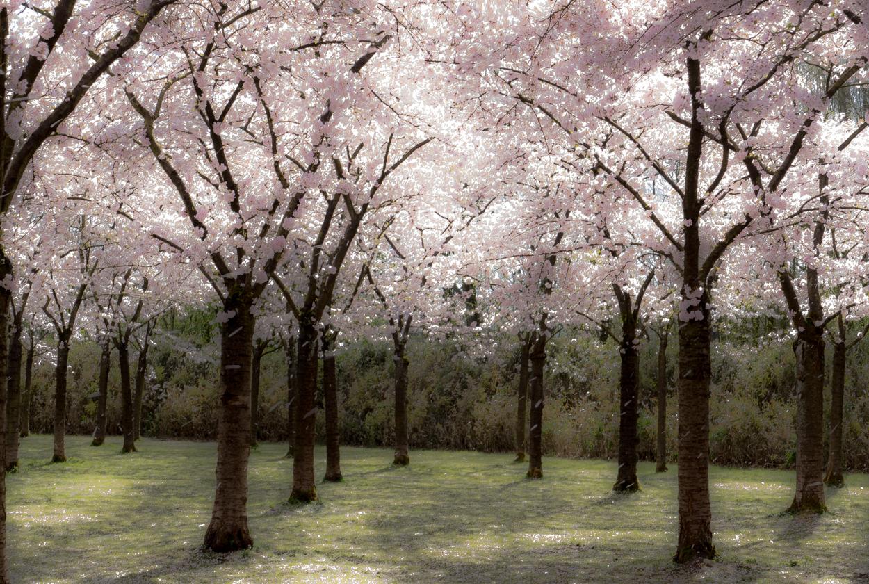 KERSENBLOESEMPARK 3 - Nu een foto van het Kersenbloesempark in kleur en zonder mensen. Op deze dag waaide het soms hard, er is dus vallende bloesem te zien. (Groot zien)   - foto door 53jan op 08-04-2021 - deze foto bevat: bloem, fabriek, takje, natuurlijk landschap, boom, afdeling, vegetatie, atmosferisch fenomeen, hout, kofferbak