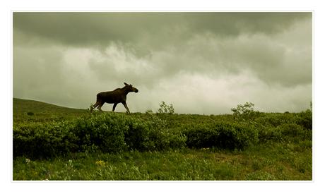 edojan 2 - the moose is loose