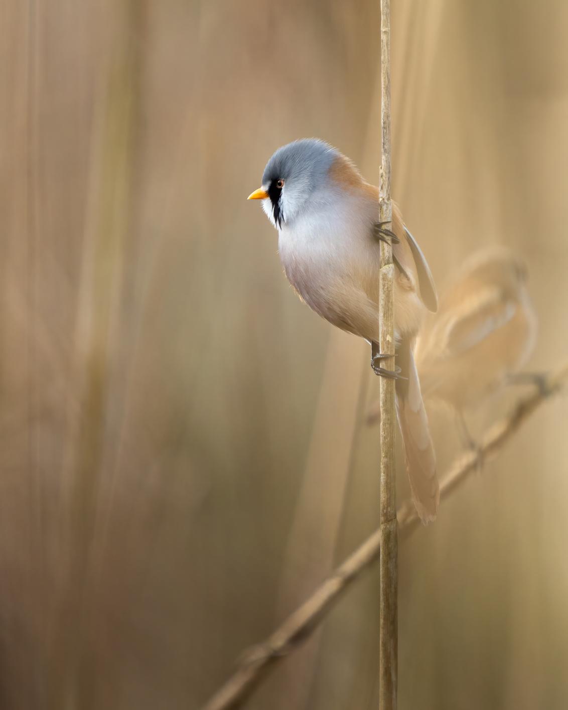 Baardmannetje - - - foto door Hendrik1986 op 19-01-2021 - deze foto bevat: vogel, wildlife, baardmannetje