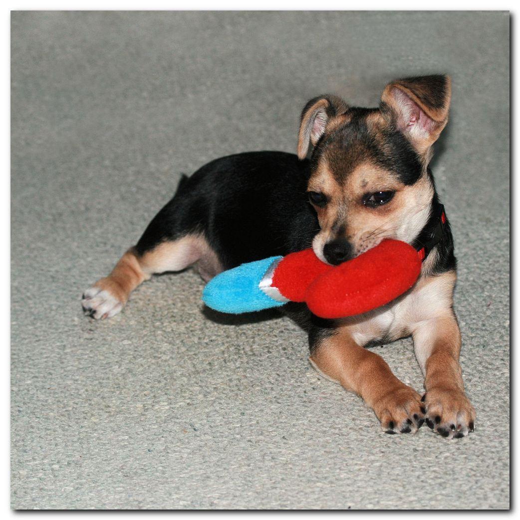 Chico 13 wk - Chico is nu 13 weken oud en nu ongeveer een week zindelijk. Wel gaan we er nog heel veel uit overdag. 's Nachts was hij al een tijdje zindelijk, want - foto door MarnixBakker op 12-01-2010 - deze foto bevat: portret, hond, chihuahua, chico, stekel, Jack Russel Terrier