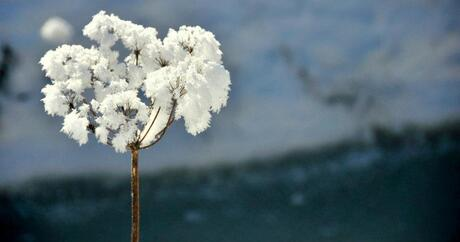 winterbloem