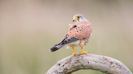 Kijk eens even om - Dit torenvalkje  keek op het juiste moment even om .... en klik , dit is het resultaat.   Gebruikte objectief de SONY G SSM 70 - 400 mm met een ex - foto door jzfotografie op 12-03-2021 - deze foto bevat: groen, kleuren, natuur, vogels, bruin, geel, zwart, dieren, oog, torenvalkje, roofvogel, kop, nederland, wildlife, achtergrond, stronk, snavel, sony, pootjes, dof, omkijken, klauwen, verenkleed, extender, g ssm 70 -400 mm