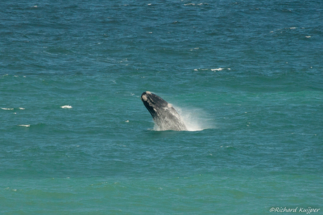 Zuidkaper of Australische walvis (Eubalaena australis)