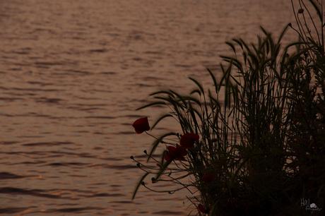 Klaproos bij zonsondergang