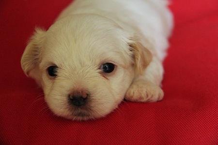 Puppie - Havenezer pup. - foto door Duckie_zoom op 30-09-2014 - deze foto bevat: hond, pup, havenezer