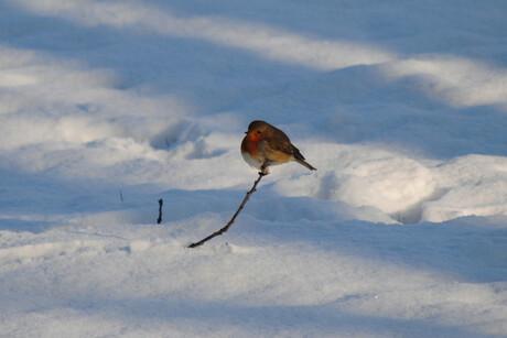 roodborstje in de sneeuw 2