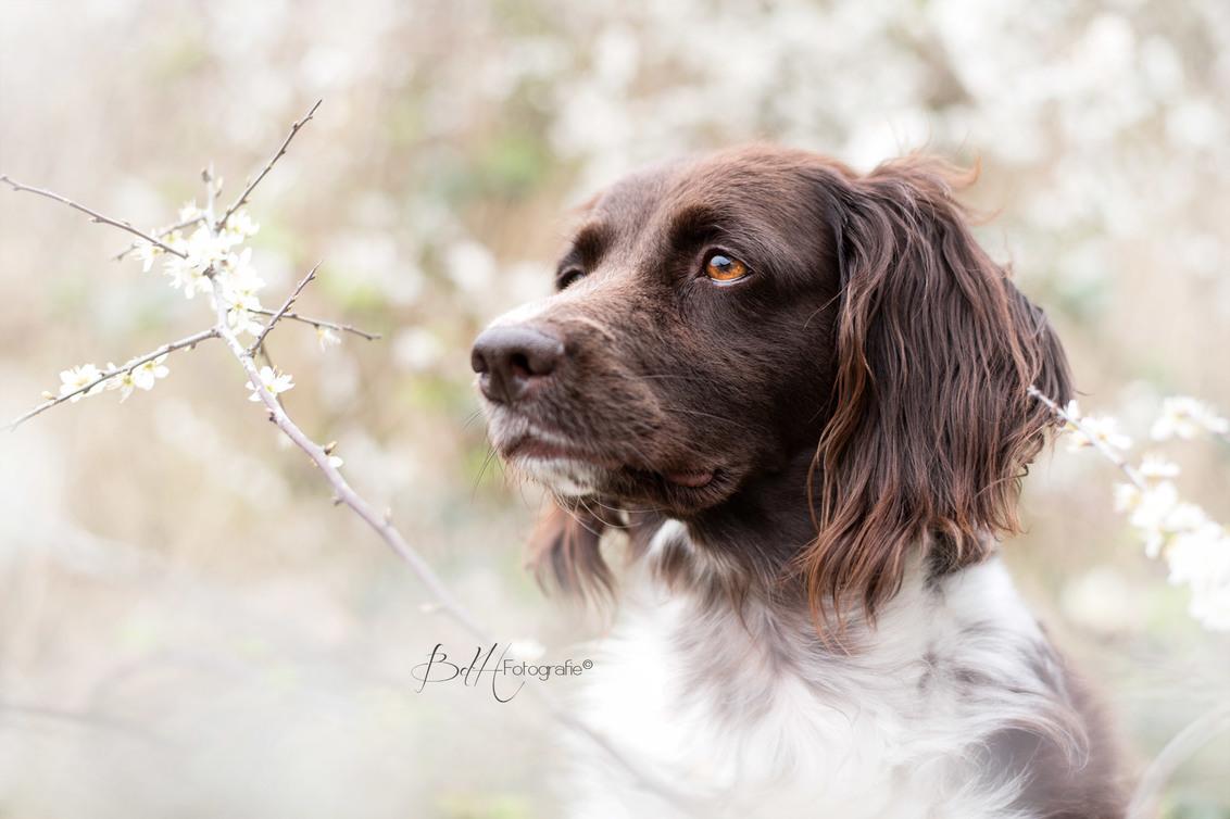 Bloemenmeisje - Ook mijn lieve hond moest op de foto tussen de witte bloesem. Ik vond dit zo'n fijne dromerige sfeer geven. - foto door BiancadH op 14-04-2020 - deze foto bevat: wit, lente, natuur, dieren, bloemen, huisdier, hond, voorjaar, bloesem, poseren, dof, jachthond, hondenportret, dromerig, heidewachtel, bokeh, hondenfotografie, hondenfotograaf