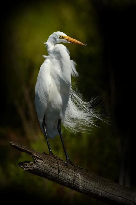 Snowy Egret - Bijzonder fotogenieke vogels, zeker als ze in broedkleed zijn met hun mooie lange veren. Foto gemaakt in Florida. - foto door guurtje op 02-12-2014