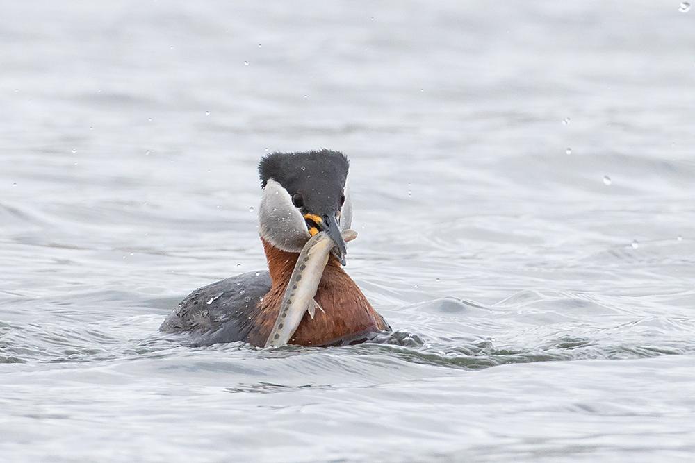 Mooie vangst! - Deze Roodhalsfuut had een Beekprik gevangen.  Iedereen bedankt voor de mooie commentaren op mijn vorige upload en allemaal een fijn weekend gewenst! - foto door tom kruissink op 16-04-2021 - locatie: Overijssel, Nederland - deze foto bevat: roodhalsfuut, dier, natuur, vis, beekprik, honger, eten, wildlife, zeldzaam, fuut, watervogel, vogel, water, zwemmen, water, vogel, vloeistof, bek, aalscholver met dubbele kuif, meer, watervogels, eenden, ganzen en zwanen, veer, carnivoor