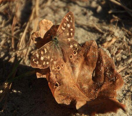 Bont zandoogje - Vanmiddag 31-10-16 gespot in het bos van Dickninge bij de Wijk...  Allen bedankt voor de reactie,s bij de foto van Havelte...En favo....  gr jenn - foto door jenny42 op 31-10-2016 - deze foto bevat: natuur, vlinder, bruin, dieren, bos, herfstblad, dickninge, bont zandoogje, de wijk.