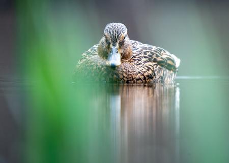 Ik zie je wel! - kwam deze eend vanmiddag tegen in Bakkum en had de mogelijkheid om vlak boven het wateroppervlakte te fotograferen. Dat geeft een mooi perspectief en - foto door B-Artfotografie op 12-04-2021 - locatie: 1901 KK Bakkum, Nederland - deze foto bevat: eend, water, vogel, water, oog, bek, veer, watervogels, eenden, ganzen en zwanen, meer, fabriek, vleugel