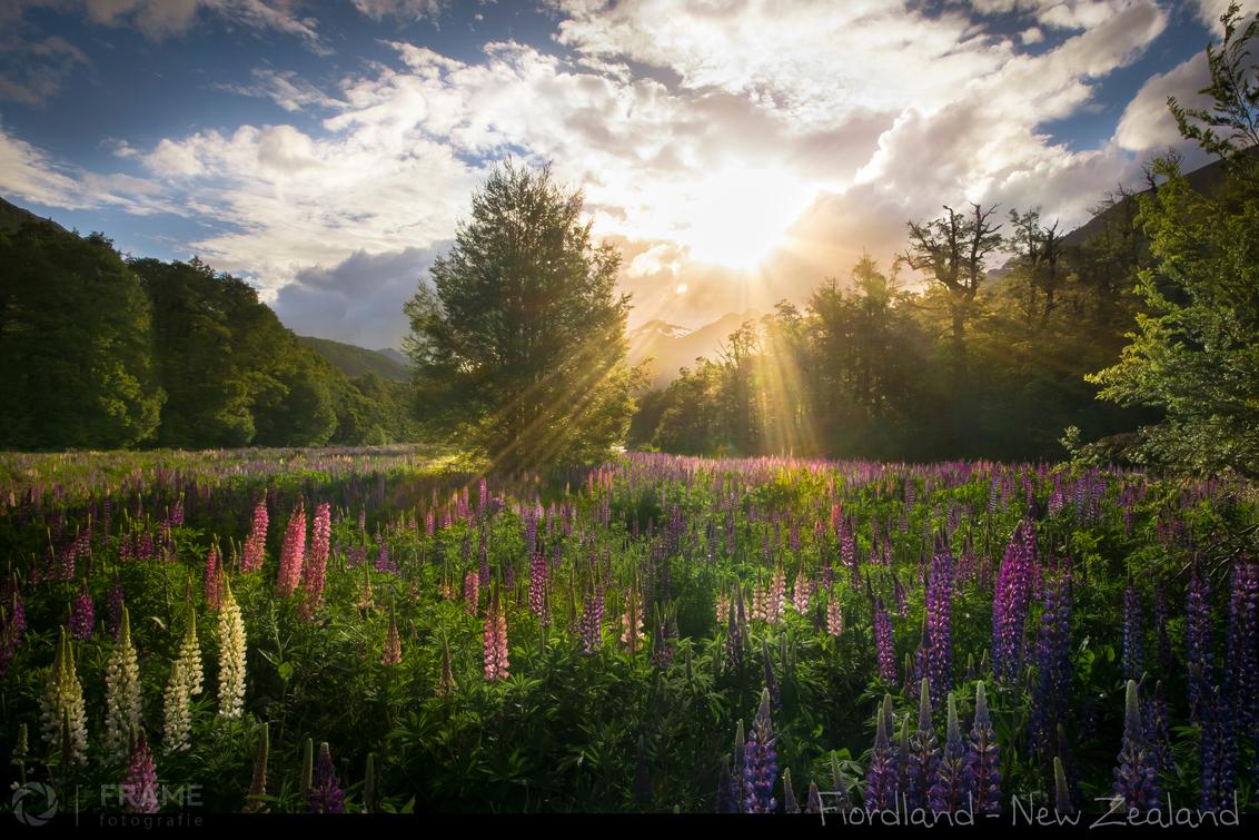 Valley of the Lupins - Na een lange dag rijden door het schitterende landschap van Fiordland National Park op het Zuidereiland van Nieuw Zeeland de camper neergezet in een  - foto door framefotografie op 31-03-2019 - deze foto bevat: lucht, zon, panorama, lente, natuur, avond, zonsondergang, vakantie, bloemen, landschap, lupine, tegenlicht, bomen, bergen, vallei, zuidereiland, fiordland, nieuw zeeland, Lupines