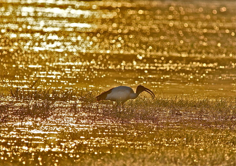 Heilige Ibis in ochtendlicht