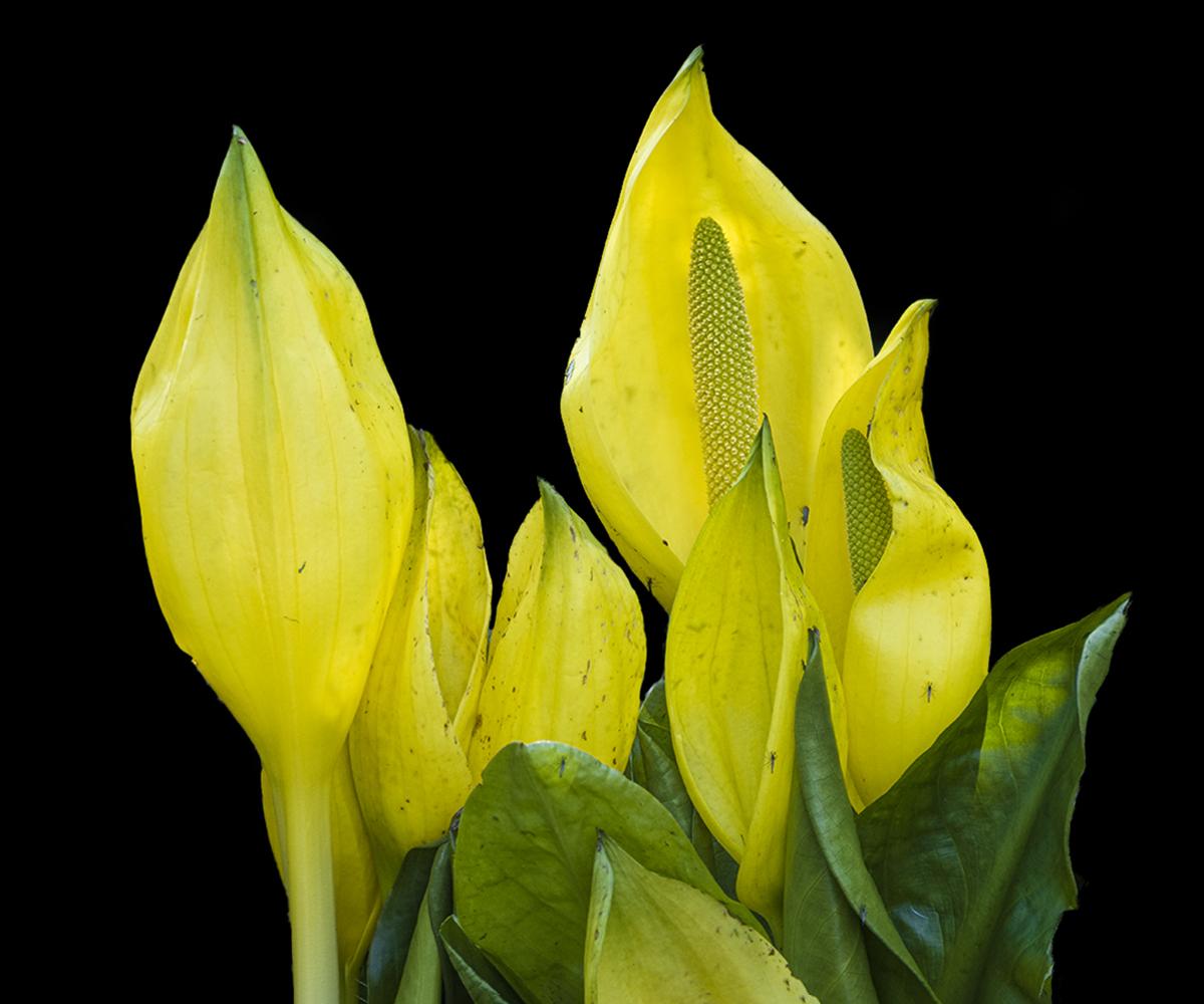 Gele aronskelk (lysichiton americanus) - Tijdens mijn wandeling vanochtend kwam ik deze prachtige bloemen tegen. Het blijken gele aronskelken te zijn, ook wel moeraslantaarns genaamd. Ze sto - foto door Piebe op 18-04-2021 - deze foto bevat: lysichiton, americanus, gele aronskelk, moeraslantaarn, bloeien, waterplant, vijver, geel, bloem, fabriek, bloemblaadje, terrestrische plant, bloeiende plant, pedicel, kruidachtige plant, macrofotografie, bod, waterlelie
