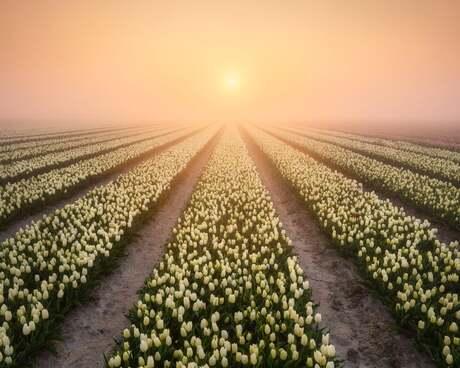 Tulip sunrays