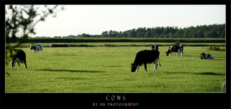 HB Cows