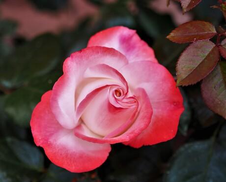 de prachtige bloei