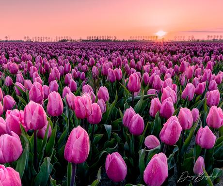 Zonsopkomst bij de tulpen van Flakkee