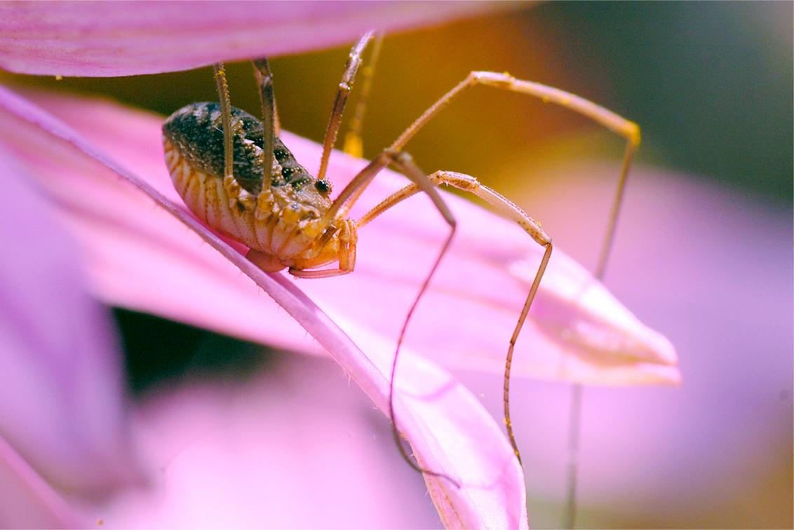 Roze - Helaas overbelicht op sommige bloemblaadjes, zag het pas op de computer... - foto door Lailaat op 14-08-2009 - deze foto bevat: hooiwagen, echina, biemie, nerds