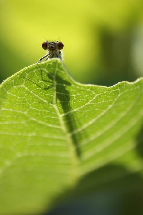 Libelle op Vijgenblad