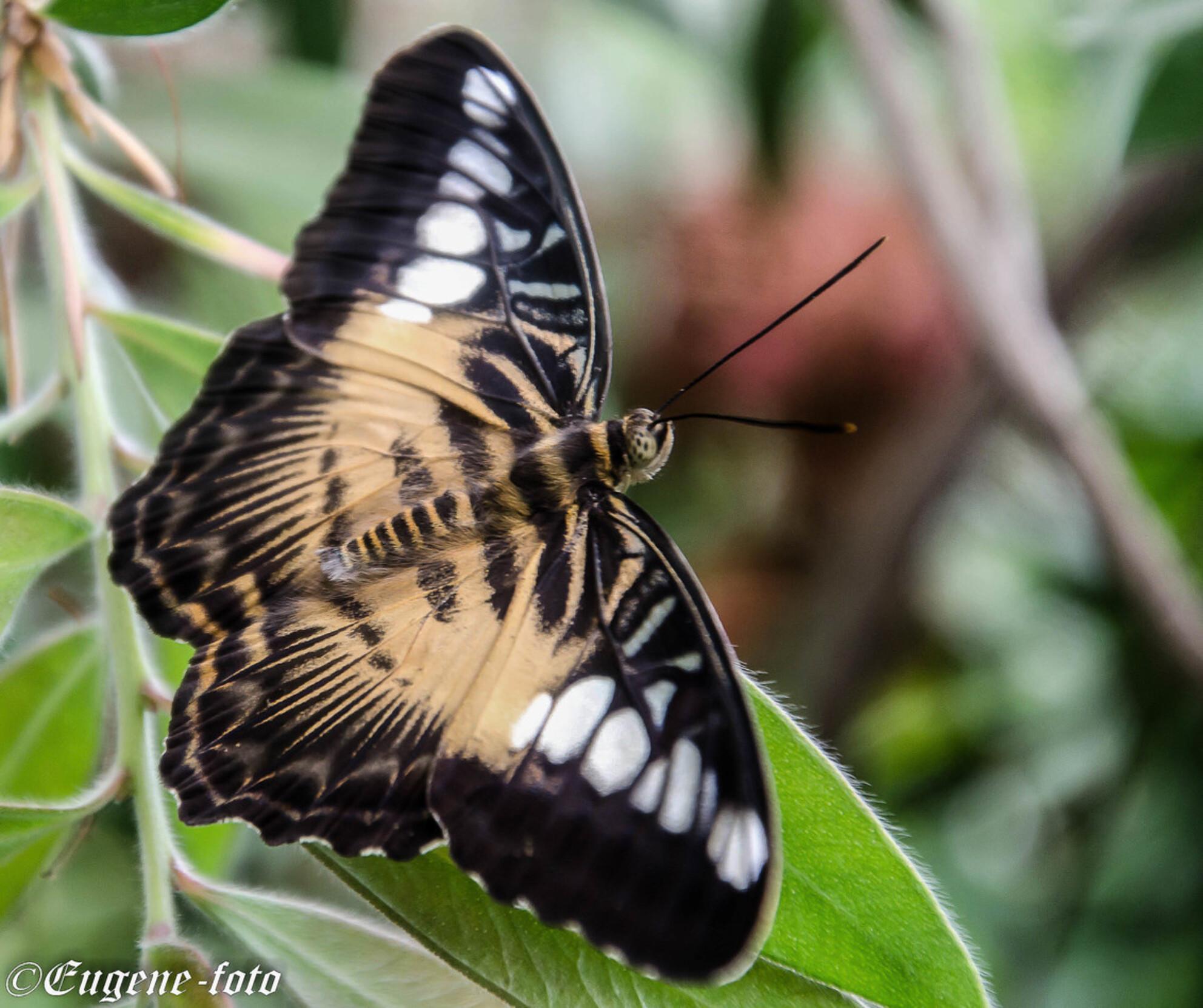vlinder 9 - uit de vlindertuin Gemert waar de klant nog overspoeld wordt met info als men dat wil. Geert de beheerder is alle dagen aanwezig in de tuin om info  - foto door eugene-fotografie op 07-01-2018 - deze foto bevat: vlinder