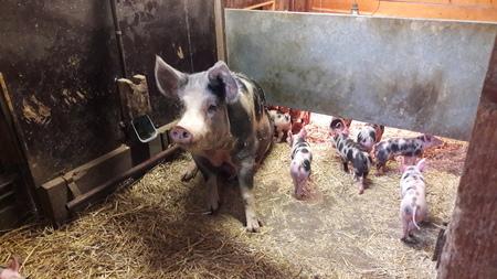trots - kijk wat ik gemaakt heb, allemaal kleine schattige biggetjes, en ze zijn allemaal aan het rondrennen, en uiteindelijk vluchten ze toch achter me onde - foto door RolandvanTol op 15-04-2021 - locatie: Parklaan 2, 2404 NC Alphen aan den Rijn, Nederland - deze foto bevat: varken, stal, big, biggen, stro, gewervelde, zoogdier, terrestrische dieren, werkend dier, gras, snuit, vee, suidae, binnenlands varken, bodem