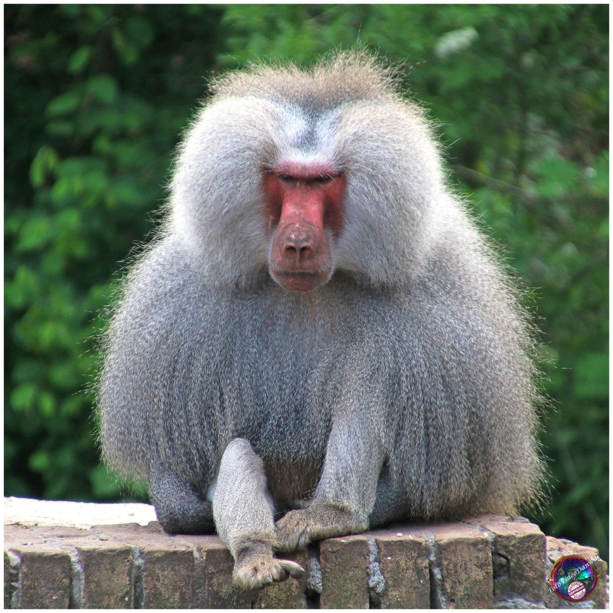 Oké, wie van jullie heeft mijn banaan ... - - - foto door willemdanker op 06-12-2018 - deze foto bevat: dierentuin, apen, baviaan, banaan, amersfoort, mantelbaviaan