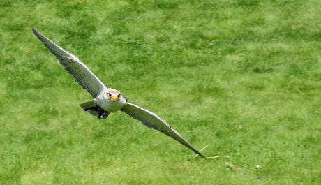 Roofvogel in vlucht