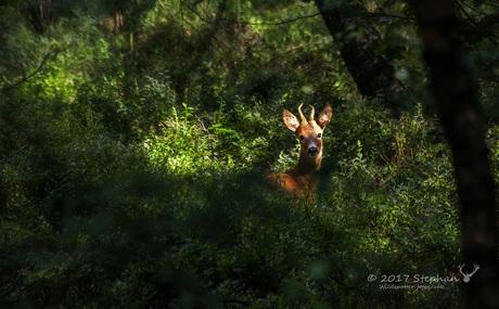 Reebokje tussen de bosbessen