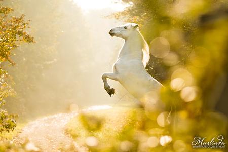 A golden fairytale - Dauwdruppels op de voorgrond zorgden voor een extra sprookjesachtig sfeertje in het ochtendlicht. - foto door marliinda op 26-11-2015 - deze foto bevat: wit, paard, goud, bokeh