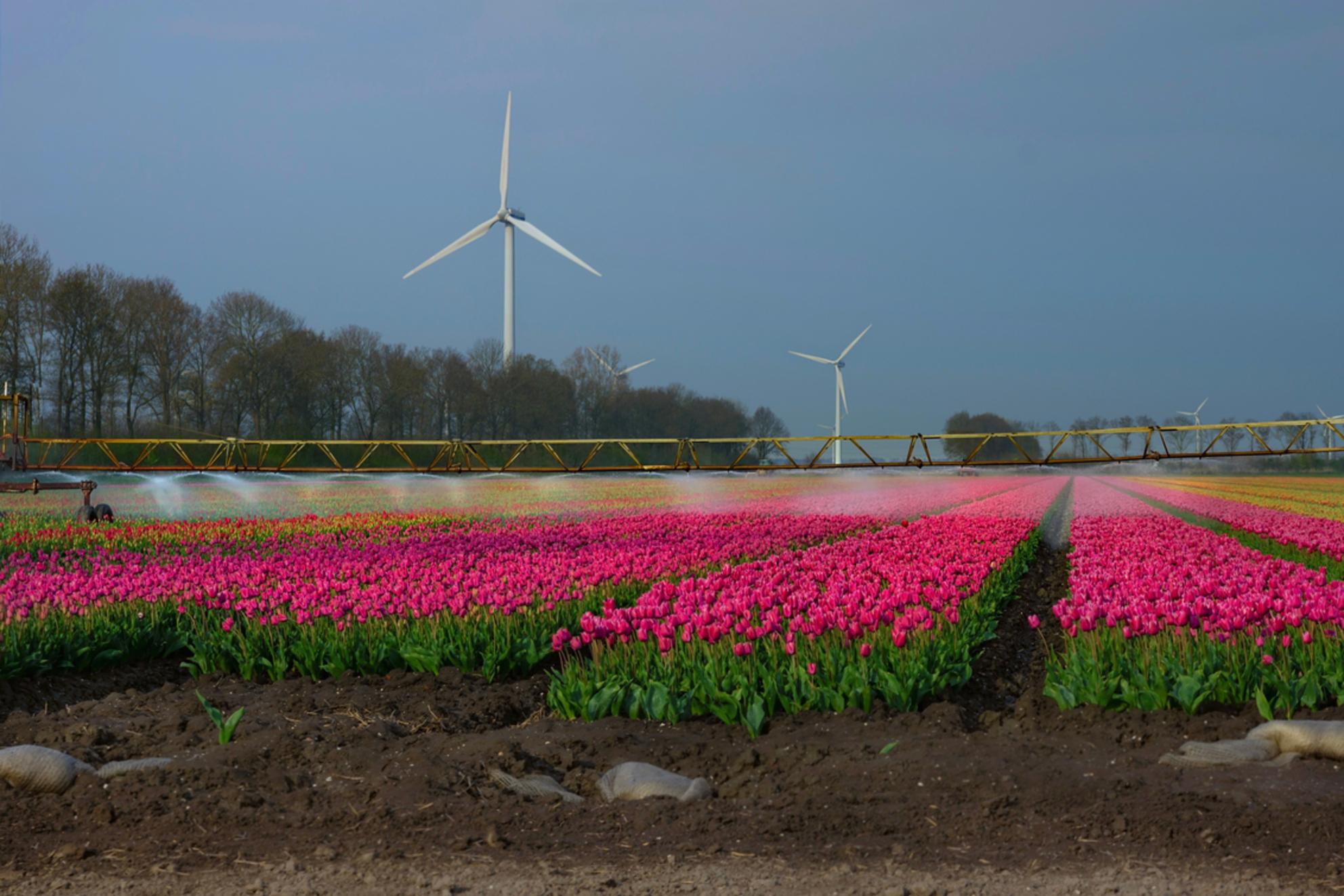 Tulpenvelden worden besproeid - Omdat inmiddels de meeste tulpenvelden helaas alweer gekopt zijn, nog even een terug blik op één van de vele mooie velden. Wat was het genieten, maar - foto door Valeries-Photography op 03-05-2019 - deze foto bevat: lucht, water, tulpen, lente, natuur, landschap, bomen, nederland, molens, polder, tulpenveld, april, swifterbant, 2019, tulenroute