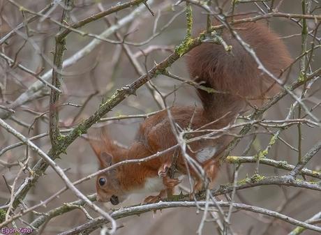 eekhoorn Roosendaal