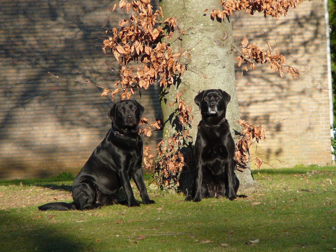 Twee mooi labradors - - - foto door lausie op 09-11-2009 - deze foto bevat: honden, labrador