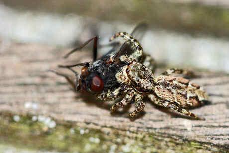 Spin die een vlieg eet