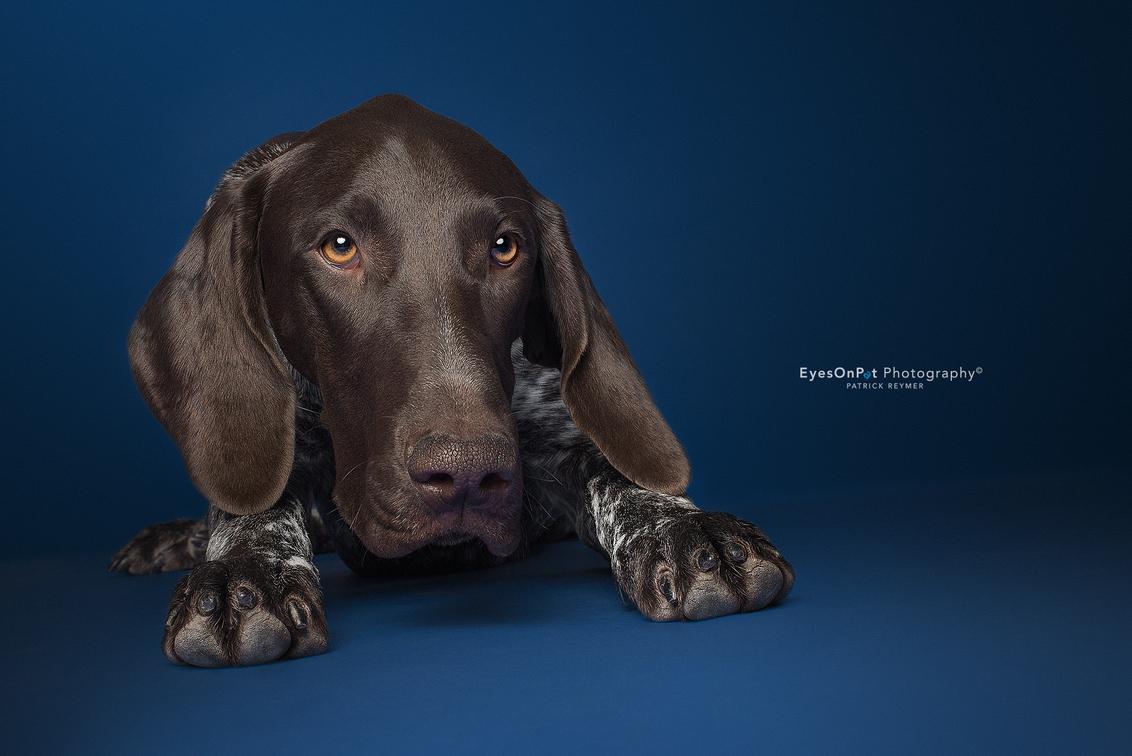 V E N T T - Nog een foto van deze stoere Duitse Staande Korthaar. Een prachtig brave pup van 7 maanden, die netjes op commando bleef zitten. - foto door EyesOnPat op 25-07-2018 - deze foto bevat: dieren, hond, honden, dier, studio, studiofotografie, duitse staande korthaar, duitse staander