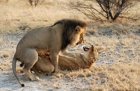 Parende leeuwen in Central Kalahari