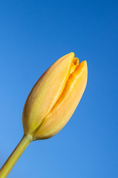 spring is in the air - tulp in voorjaar - foto door Helen.Nobelen op 08-04-2021 - deze foto bevat: fabriek, bloem, lucht, bloemblaadje, pedicel, bloeiende plant, terrestrische plant, kruidachtige plant, bod, macrofotografie
