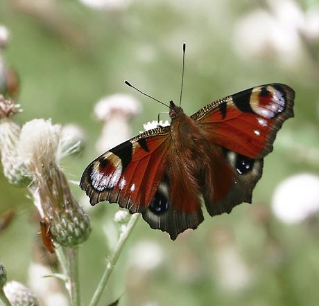 Dagpauw vlinder