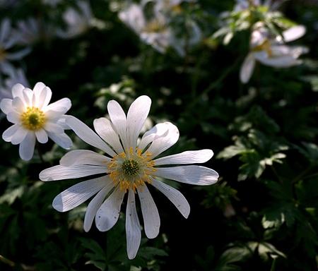 Anemone White Splendour - ANNA PAULOWNA - . . ook nog even in de Poldertuin aan de Molenvaart geweest. Een tuin met prachtige bloembollen en vele soorten. Je kunt vrij tussen - foto door 1103 op 29-04-2015 - deze foto bevat: macro, zon, bloem, natuur, licht, dof, bokeh