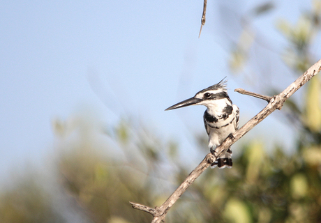 Pied kingfisher in Gambia