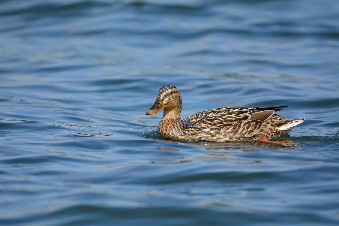 Wild Duck - - - foto door hayke op 30-03-2021 - deze foto bevat: wilde eend, hayke