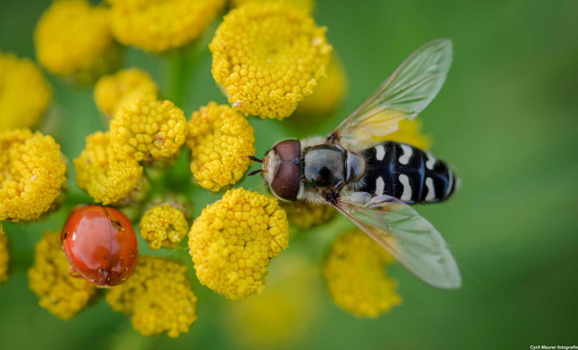 Zweefvlieg met Reflexie - dit is de laatste uit de blauwe kamer - foto door sipmaurer op 07-09-2015 - deze foto bevat: groen, macro, bloem, natuur, lieveheersbeestje, zweefvlieg, geel, zwart, zomer, dof, Blauwe kamer
