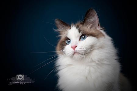 Ragdoll - Deze Ragdoll mama had ik pas in de studio. Super lief model - foto door Anita Eye Dea op 21-01-2021 - deze foto bevat: blauw, poes, zwart, dieren, kat, jong, studio, ragdoll, huisdierfotografie, eyedea, kattenfotografie, huisdierfotograaf