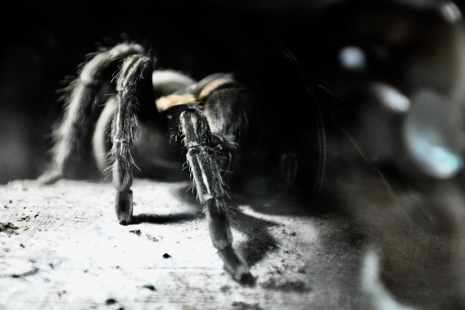 Tarantula - Pairi-Daiza in Brugelette - foto door winnybiets op 12-04-2021 - locatie: Brugelette, België - deze foto bevat: geleedpotigen, insect, flitsfotografie, spin, hout, terrestrische dieren, plaag, spinachtige, duisternis, detailopname